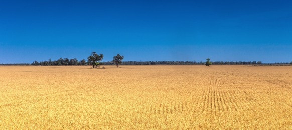 agricultural landscape of wheatfield, moree