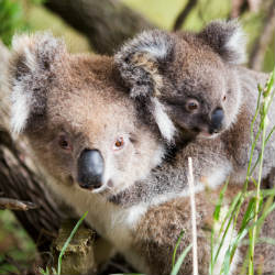 australia baby koala bear and mom