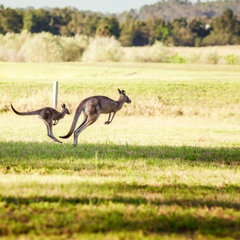 australian kangaroos at hunter valley
