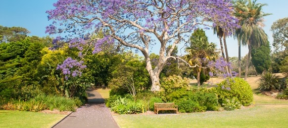 blooming jacaranda tree in the park, sydney