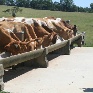 cows being fed at Malene Dairies