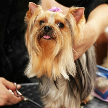 hairdresser grooming dog in salon in adelaide