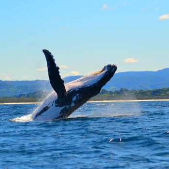 Humpback whale jumping out from the water in Byron bay