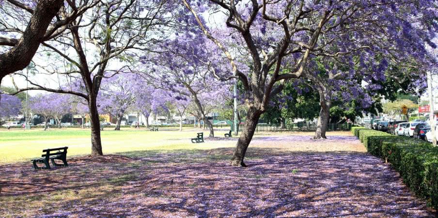 jacaranda trees in new farm park, queensland
