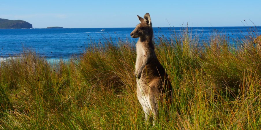 kangaroo keeping watch at the beach