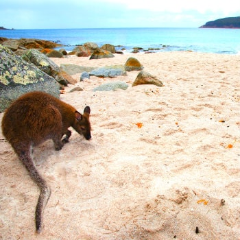 kangaroo on wineglass bay, tasmania