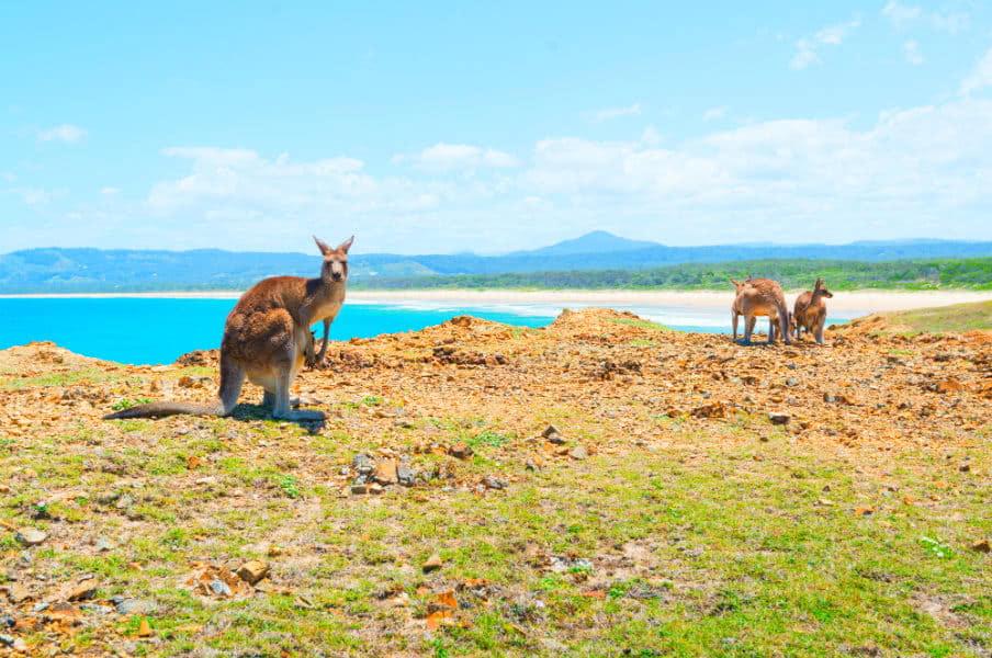 Kangaroos at Coffs Harbour, NSW, AU