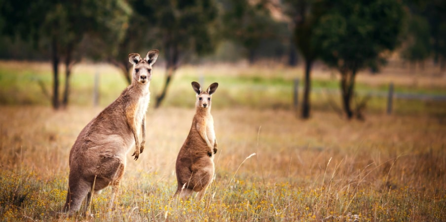 kangaroos at stirling ranges