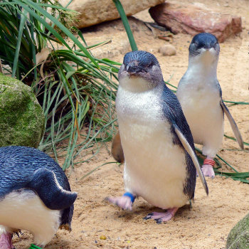 little penguins wandering around in phillip island