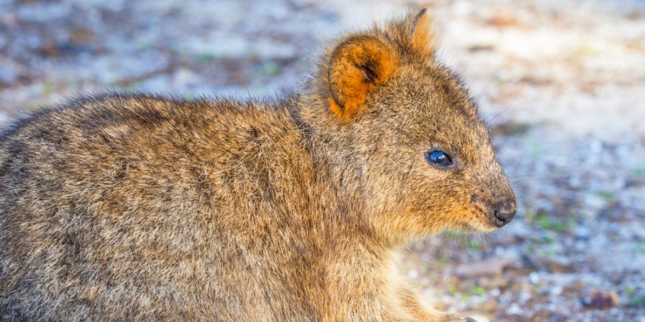 quokka feeding at rottnest island