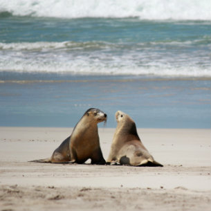 sea lions on seal bay conservation park