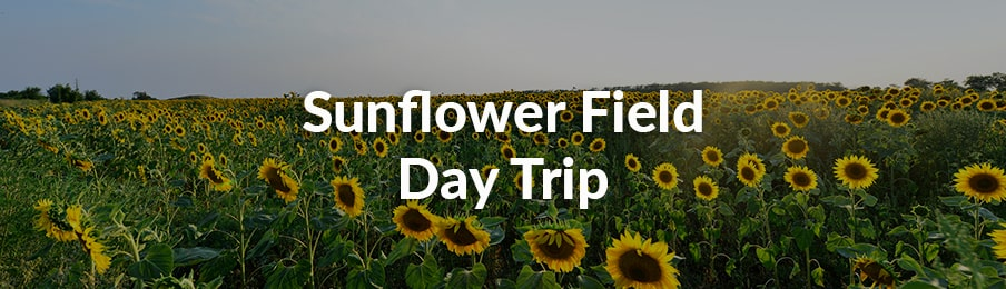 sunflower field day trip