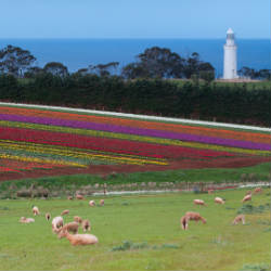 tulips fields at table cape