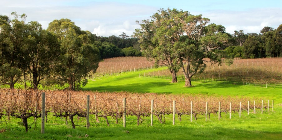 vineyards in wine farm near margaret river