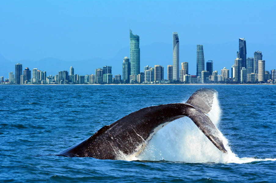 Whale Watching in Gold Coast, AU